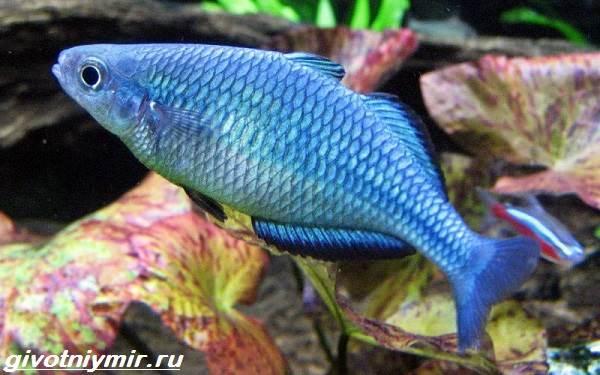 Радужница-рыбка-Описание-уход-виды-и-совместимость-радужницы-9