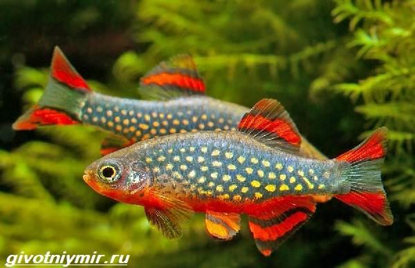 Расбора-рыбка-Описание-особенности-уход-и-совместимость-расборы-1