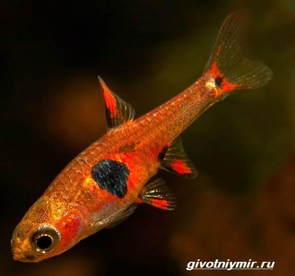 Расбора-рыбка-Описание-особенности-уход-и-совместимость-расборы-10