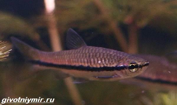 Расбора-рыбка-Описание-особенности-уход-и-совместимость-расборы-11