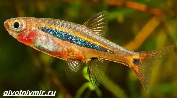 Расбора-рыбка-Описание-особенности-уход-и-совместимость-расборы-13