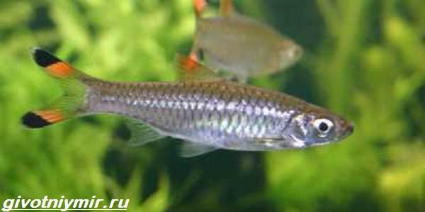 Расбора-рыбка-Описание-особенности-уход-и-совместимость-расборы-14