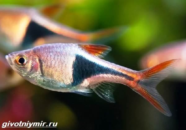 Расбора-рыбка-Описание-особенности-уход-и-совместимость-расборы-2