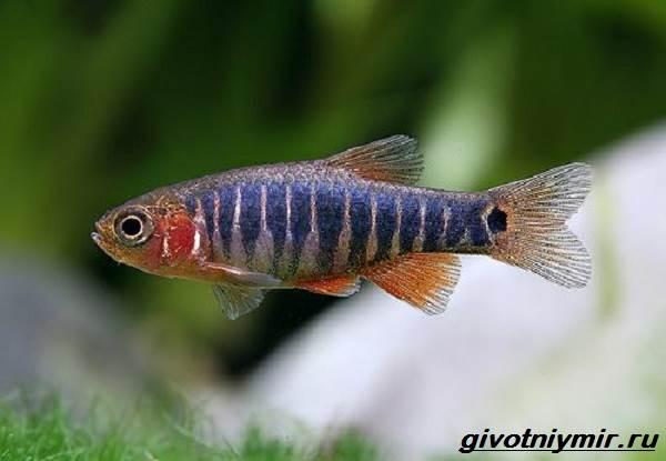 Расбора-рыбка-Описание-особенности-уход-и-совместимость-расборы-4