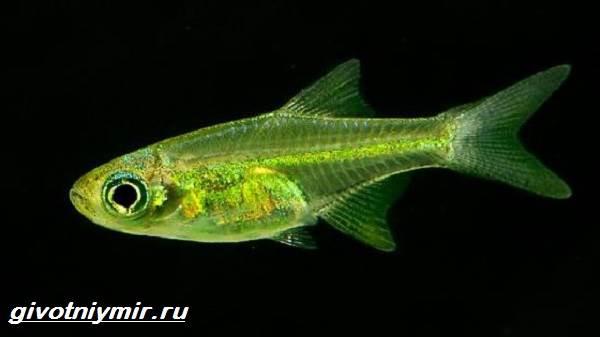 Расбора-рыбка-Описание-особенности-уход-и-совместимость-расборы-5