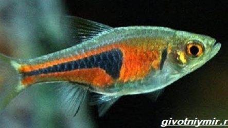 Расбора рыбка. Описание, особенности, уход и совместимость расборы