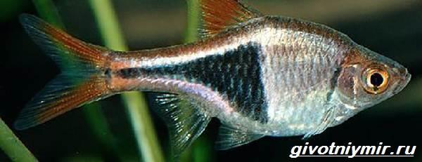 Расбора-рыбка-Описание-особенности-уход-и-совместимость-расборы-8