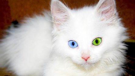 Редкие кошки. Описание и особенности редких пород кошек