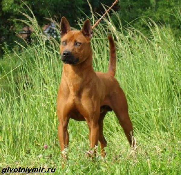 Редкие-собаки-Описание-и-особенности-редких-пород-собак-11