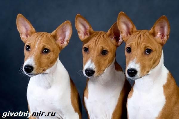Редкие-собаки-Описание-и-особенности-редких-пород-собак-2