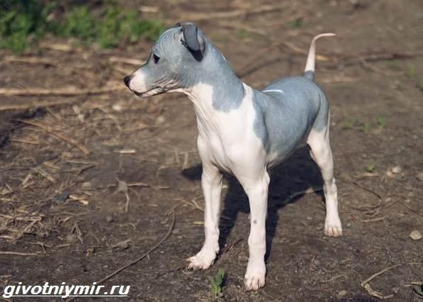 Редкие-собаки-Описание-и-особенности-редких-пород-собак-3