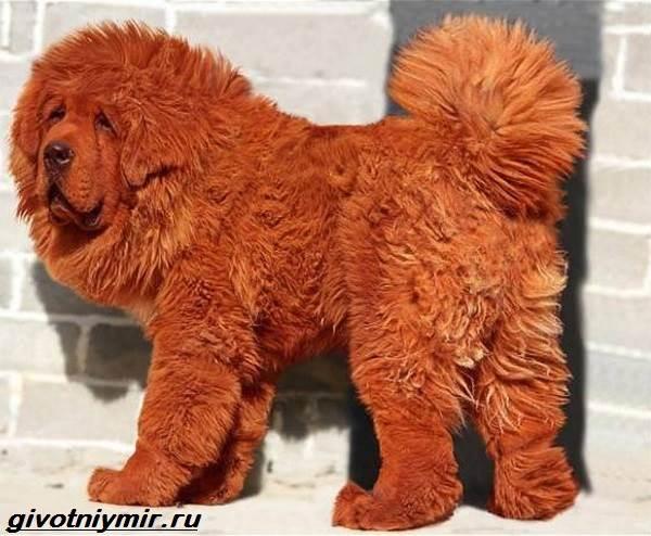 Редкие-собаки-Описание-и-особенности-редких-пород-собак-4
