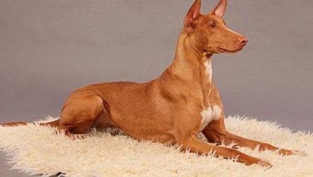 Редкие собаки. Описание и особенности редких пород собак