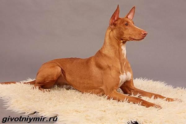 Редкие-собаки-Описание-и-особенности-редких-пород-собак-7