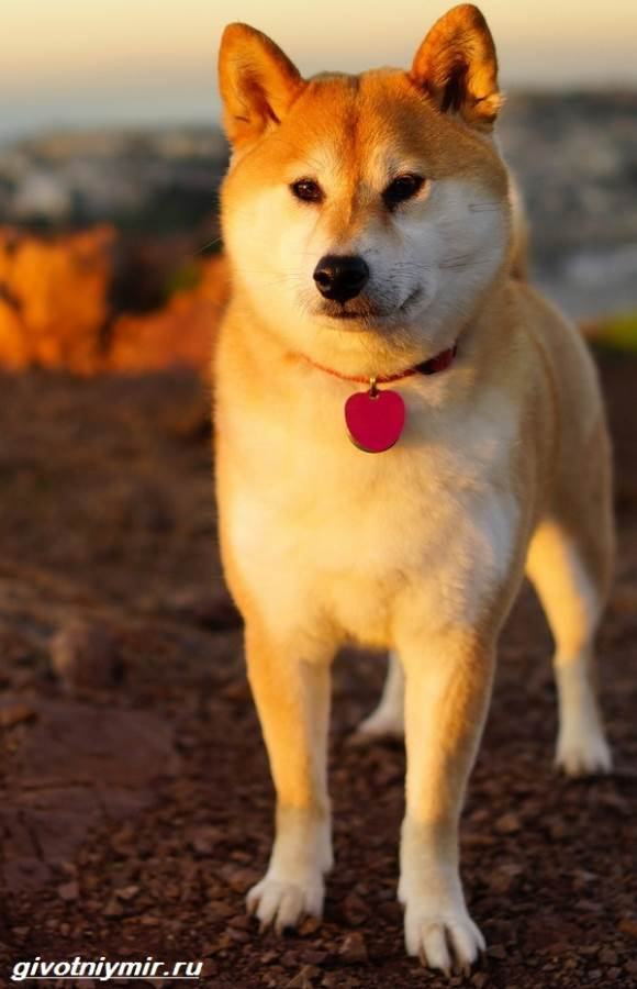 Редкие-собаки-Описание-и-особенности-редких-пород-собак-8