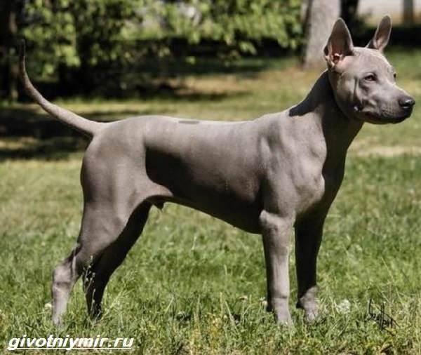 Редкие-собаки-Описание-и-особенности-редких-пород-собак-9