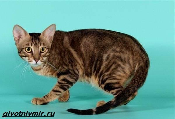 Сококе-кошка-Описание-особенности-уход-и-цена-кошки-сококе-2