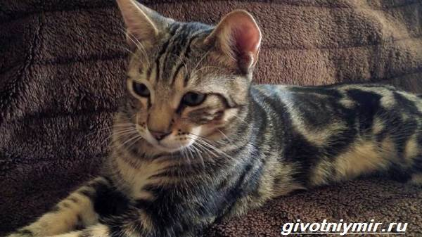 Сококе-кошка-Описание-особенности-уход-и-цена-кошки-сококе-3