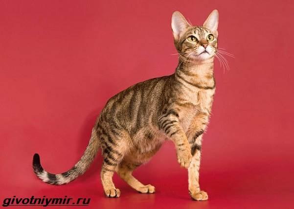 Сококе-кошка-Описание-особенности-уход-и-цена-кошки-сококе-1