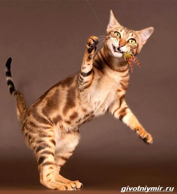Сококе-кошка-Описание-особенности-уход-и-цена-кошки-сококе-5