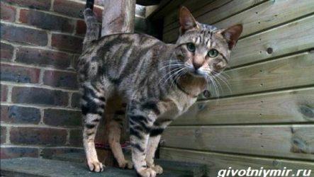 Сококе кошка. Описание, особенности, уход и цена кошки сококе