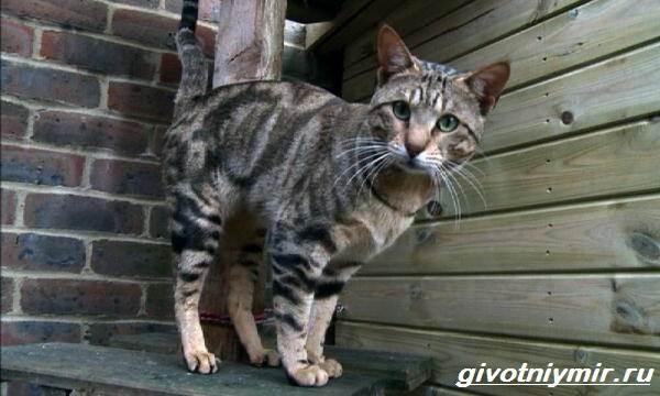 Сококе-кошка-Описание-особенности-уход-и-цена-кошки-сококе-8