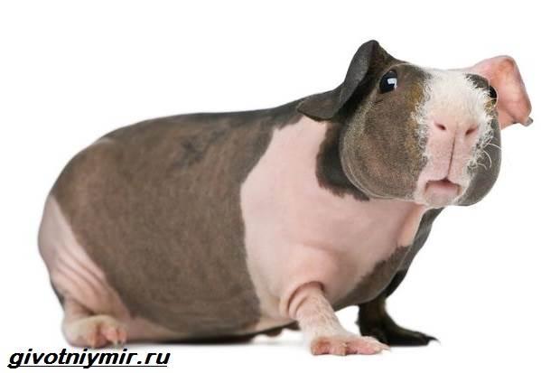 Свинка-скинни-Описание-особенности-виды-и-уход-за-свинкой-скинни-1