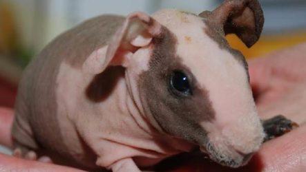 Свинка скинни. Описание, особенности, виды и уход за свинкой скинни
