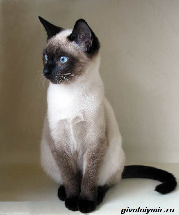 Тай-дон-кошка-описание-особенности-уход-и-цена-кошки-тай-дон-1