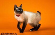 Тай дон кошка. описание, особенности, уход и цена кошки тай дон