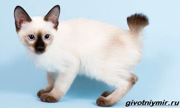 Тай-дон-кошка-описание-особенности-уход-и-цена-кошки-тай-дон-4