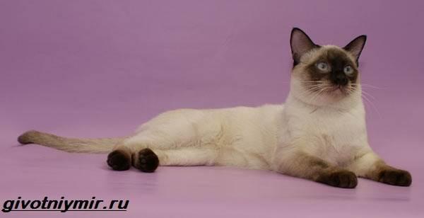 Тай-дон-кошка-описание-особенности-уход-и-цена-кошки-тай-дон-5