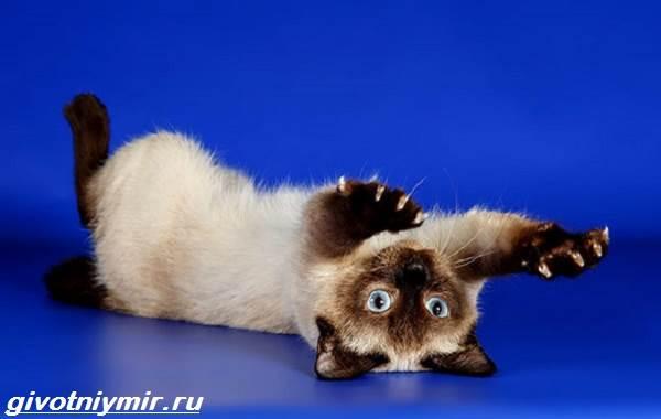 Тай-дон-кошка-описание-особенности-уход-и-цена-кошки-тай-дон-6