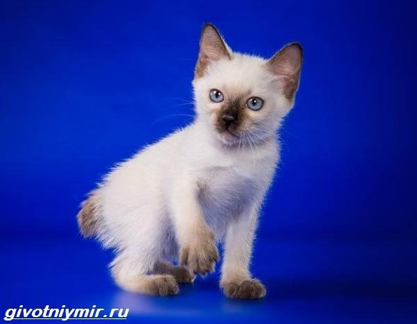 Тай-дон-кошка-описание-особенности-уход-и-цена-кошки-тай-дон-7