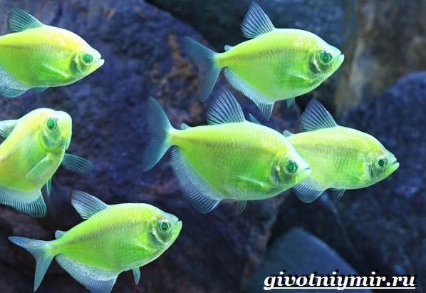 Тернеция-карамелька-рыбка-Описание-особенности-виды-и-уход-за-тернецией-карамелькой-1-1