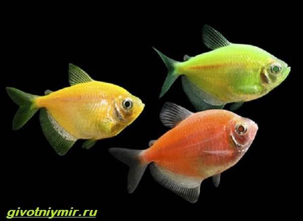Тернеция-карамелька-рыбка-Описание-особенности-виды-и-уход-за-тернецией-карамелькой-1