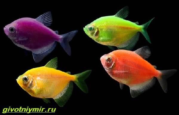 Тернеция-карамелька-рыбка-Описание-особенности-виды-и-уход-за-тернецией-карамелькой-3