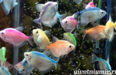 Тернеция карамелька рыбка. Описание, особенности, виды и уход за тернецией карамелькой