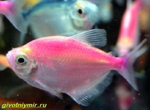 Тернеция-карамелька-рыбка-Описание-особенности-виды-и-уход-за-тернецией-карамелькой-4