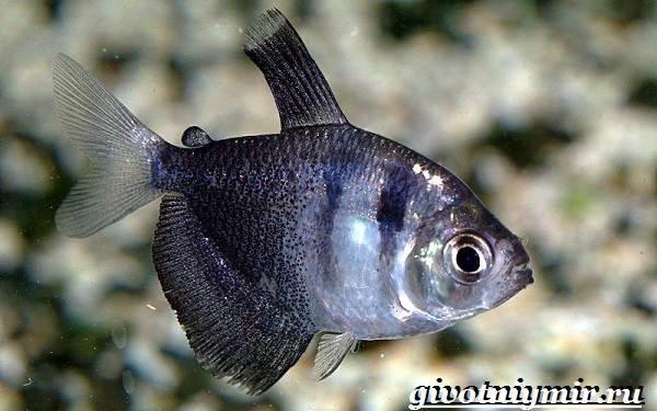Тернеция-карамелька-рыбка-Описание-особенности-виды-и-уход-за-тернецией-карамелькой-7