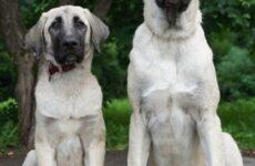 Турецкий кангал собака. Описание, особенности, уход и цена турецкого кангала