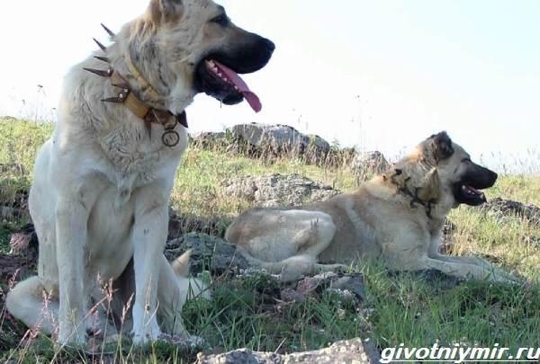 Турецкий-кангал-собака-Описание-особенности-уход-и-цена-турецкого-кангала-2