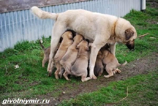 Турецкий-кангал-собака-Описание-особенности-уход-и-цена-турецкого-кангала-6