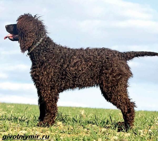 Водяной-спаниель-собака-Описание-особенности-уход-и-цена-водяного-спаниеля-1