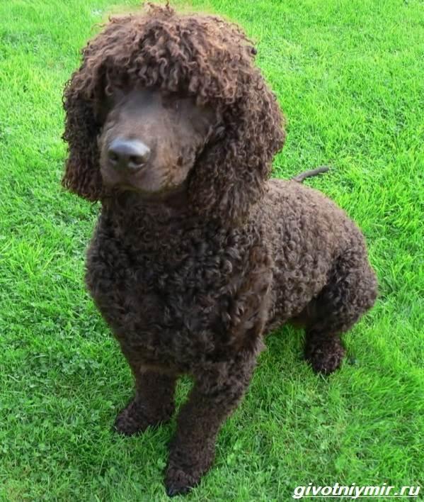 Водяной-спаниель-собака-Описание-особенности-уход-и-цена-водяного-спаниеля-3