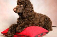 Водяной спаниель собака. Описание, особенности, уход и цена водяного спаниеля