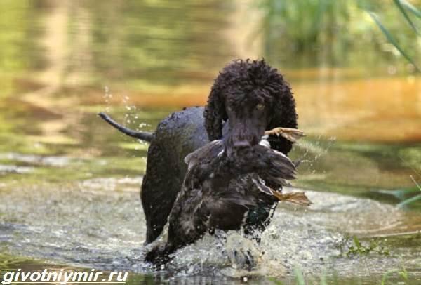 Водяной-спаниель-собака-Описание-особенности-уход-и-цена-водяного-спаниеля-6