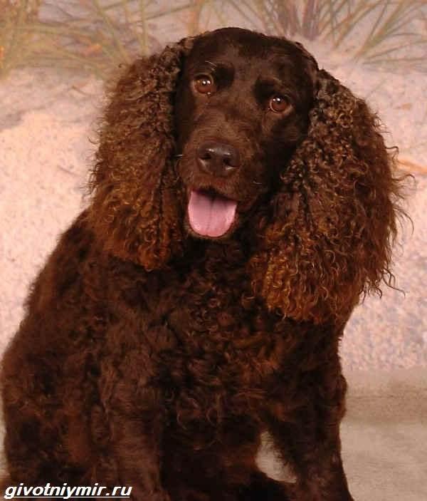 Водяной-спаниель-собака-Описание-особенности-уход-и-цена-водяного-спаниеля-7