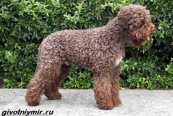 Водяной-спаниель-собака-Описание-особенности-уход-и-цена-водяного-спаниеля-8