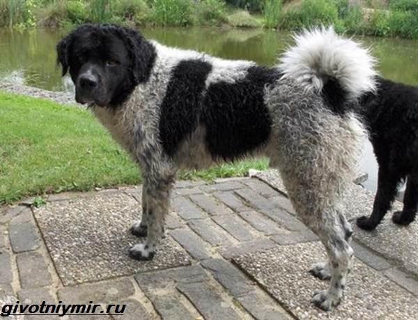 Водяной-спаниель-собака-Описание-особенности-уход-и-цена-водяного-спаниеля-9